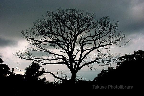 薄暮の落葉樹シルエット