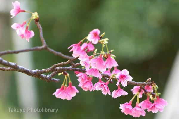 12-0108 緋寒桜