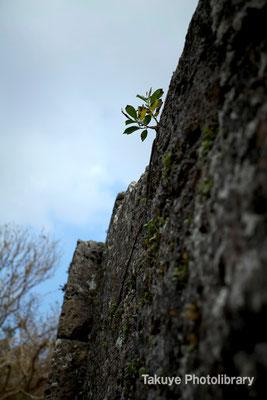 06a-0019 城壁から芽吹く がじゅまるの樹 時代を繋ぐ樹か?