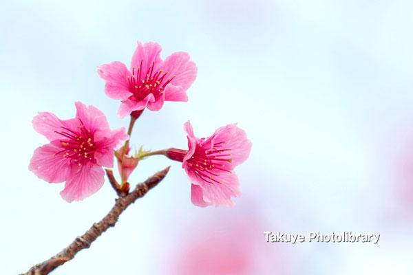 12-0065 緋寒桜