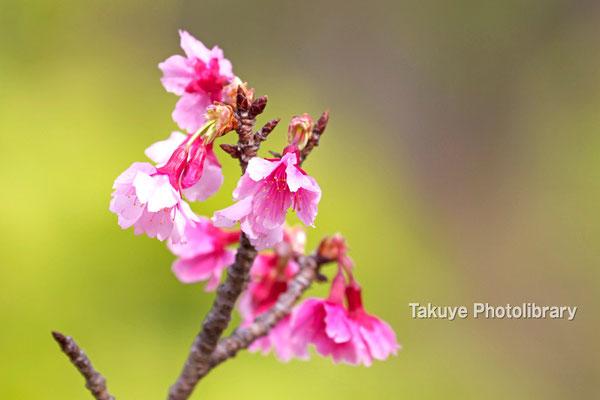 12-0064 緋寒桜 日本一早い開花!