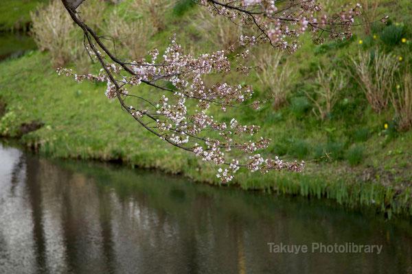 09-0061  亀ヶ池 桜並木