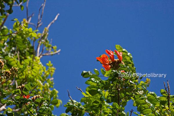 12-0054 カエンボクの花
