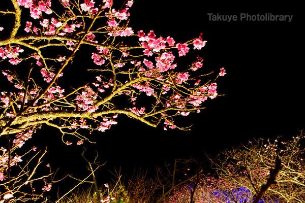 02a-0001 今帰仁城跡 桜まつり 夜桜