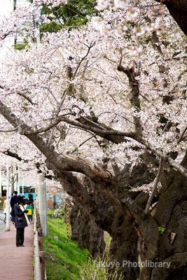 09-0062 亀ヶ池 桜並木 石割桜の道向かいの桜並木