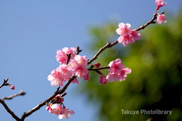 12-0063 緋寒桜 日本一早い開花!