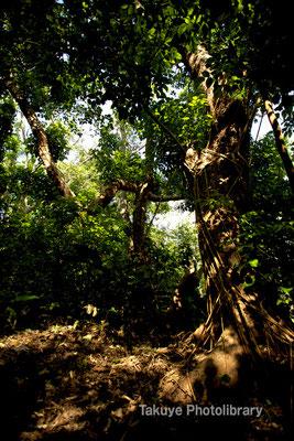 アカギの森