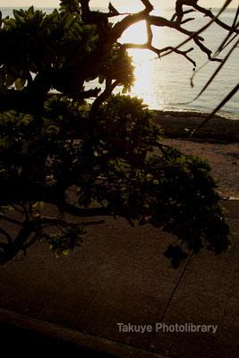 07b-0002 夕陽を浴びるモンパノキ