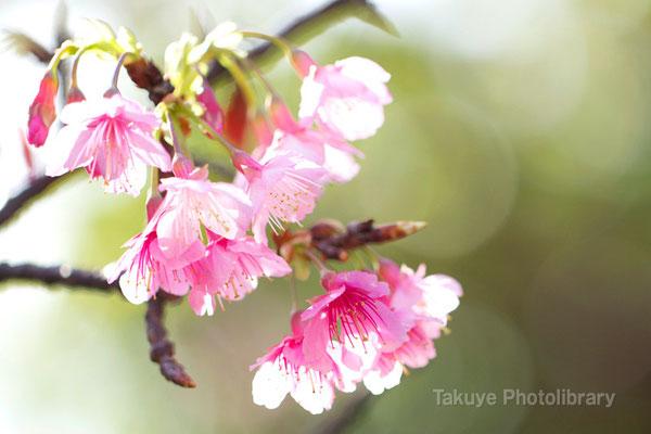 12-0107 緋寒桜