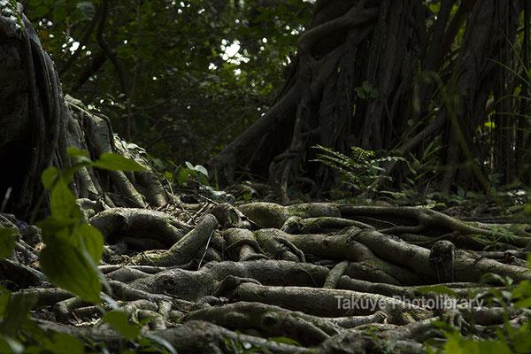 06h-0011 ヤブサツの浦原 浜川御嶽 聖地はガジュマルの木々が覆い尽くす