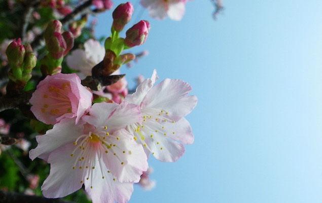 12-0020 緋寒桜