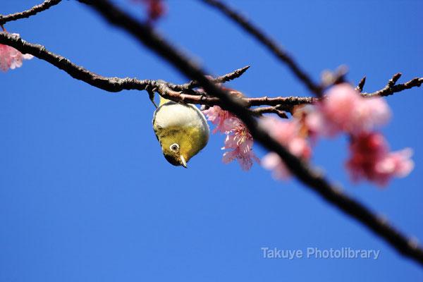 11b-0019 メジロ 日本一早く開花する緋寒桜に訪れる。 沖縄本島 末吉公園