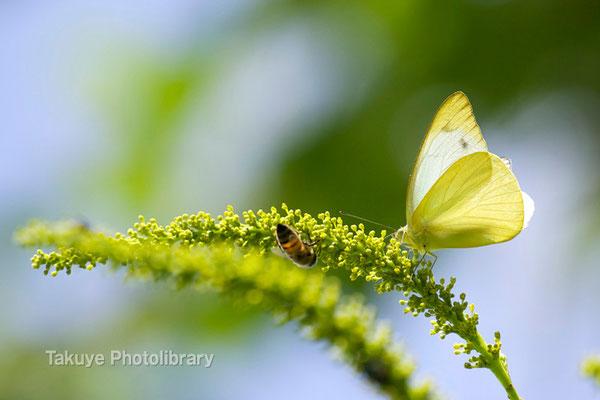 11a-0067 ナミエシロチョウ ♂ ナンキンハゼの花