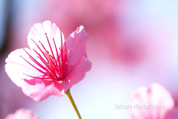 12-0104 緋寒桜アップ