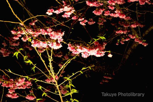 02a-0002 今帰仁城跡 桜まつり 夜桜
