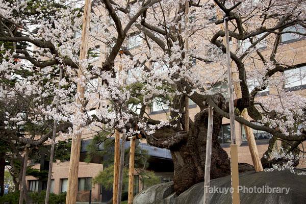 09-0063 石割桜 盛岡地方裁判所の構内にある桜