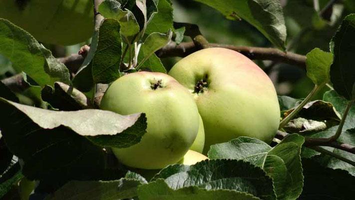 Klaräpfel