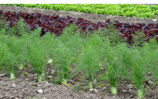 Fenchel und Salate