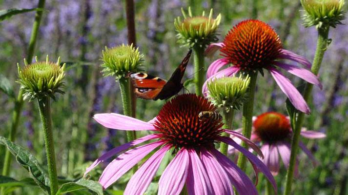 Roter Sonnenhut mit Pfauenauge Schmetterling