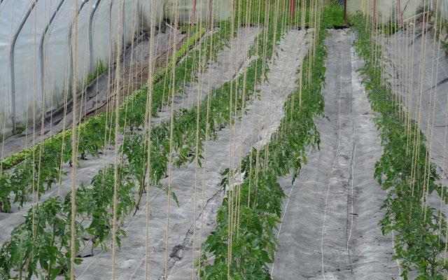 Frisch gesetzte Tomaten und Basilikum.