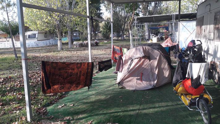 Schafherde auf leerem Zeltplatz
