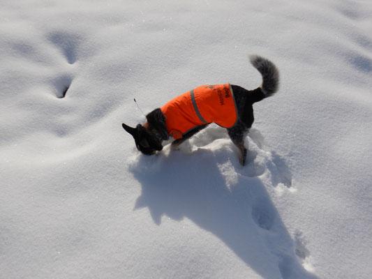 Die Nase tief im Schnee - könnte da etwas sein?