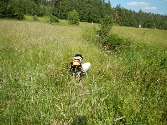 Zwischen Straße und Flusslauf kämpft sich Zammy durch Über-Hundekopf-hohes Gras.