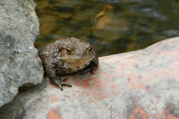 Erdkröten bevorzugen Gewässer im Wald.