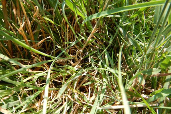 Erkennt jemand den kleinen Kotkrümel im Gras? Was für uns schwer ist, ist für einen guten Spürhund kein Problem.