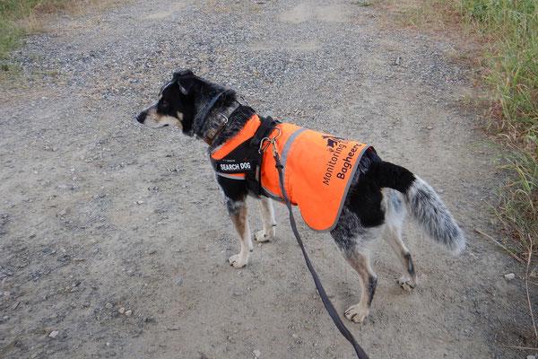 Gelegentlich ist es notwendig, die Hunde durch eine Schleppleine zu sichern, zum Beispiel wenn wir direkt an der Straße arbeiten.