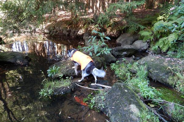 Bagheera sucht die Felsen in einem Flusslauf im Wald ab.