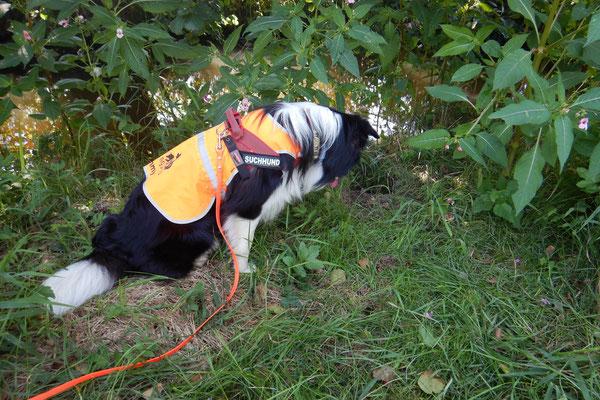 Zammy findet einen ganz in der Vegetation versteckten Wechsel, auf dem auch ein Otter markiert hat.