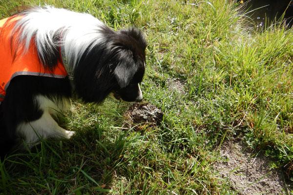 Es sind nicht immer kleine Häufchen. Gelegentlich ist es auch ein riesig großer Ottermarkierplatz, den wir entdecken.