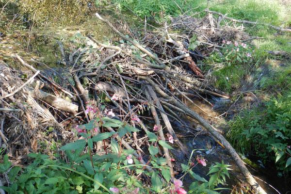 Biber bauen im Herbst viele Dämme in den Fluss, die das Wasser aufstauen. Das invasive Indische Springkraut drum herum ist übrigends leider an jedem Fluss zu finden.