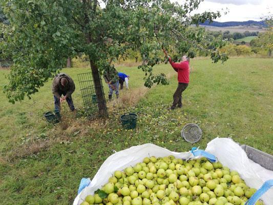 Am 27.09.20 haben wir ca. 600 kg Birnen geerntet