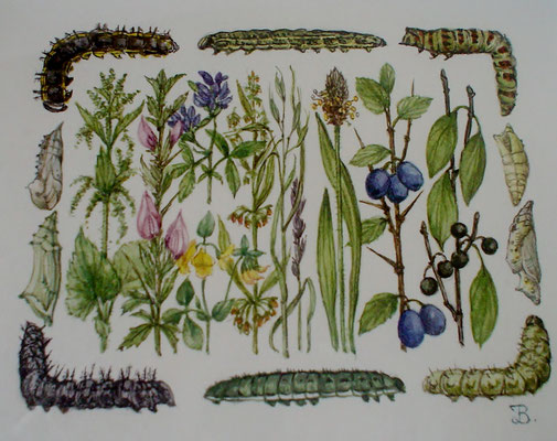 Origineel uit het boekje Vlinders lokken in de tuin. Aquarel (nr.3) door Han v.d. Broeke. 9 x 12cm. Prijs € 345,- Uitgever Thieme in opdracht van het blad Margriet.