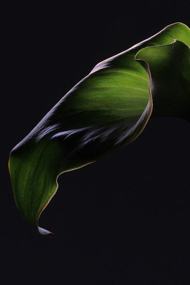 Grüne Callas
