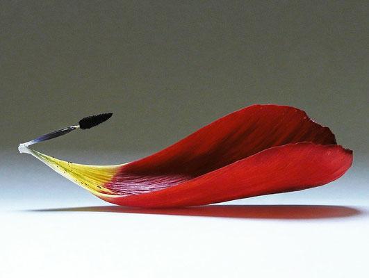 Tulpe - Blütenblatt