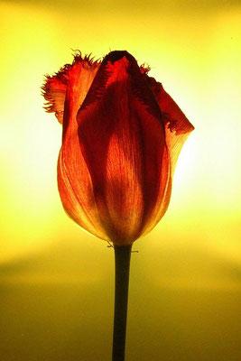 Leuchtende Tulpe