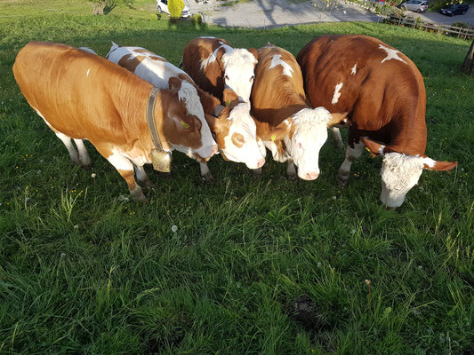 Rinder auf der Weide