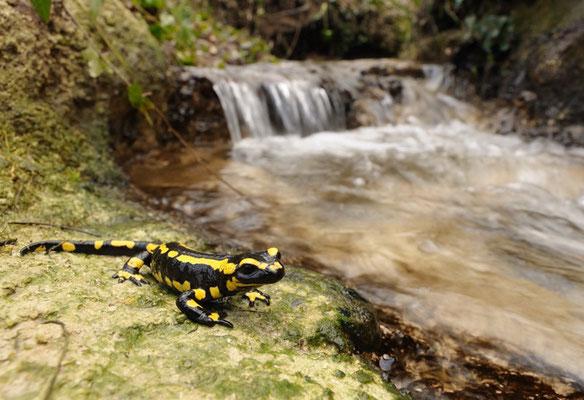 Salamandre tachetée (Salamandra salamandra) - Frédéric Pinto