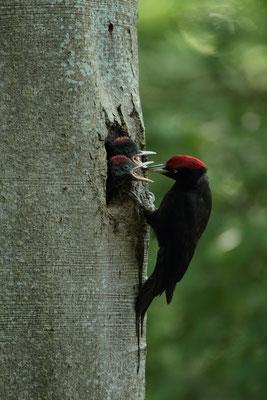 Pic noir (Dryocopus martius) - Photo Jullien Ludovic
