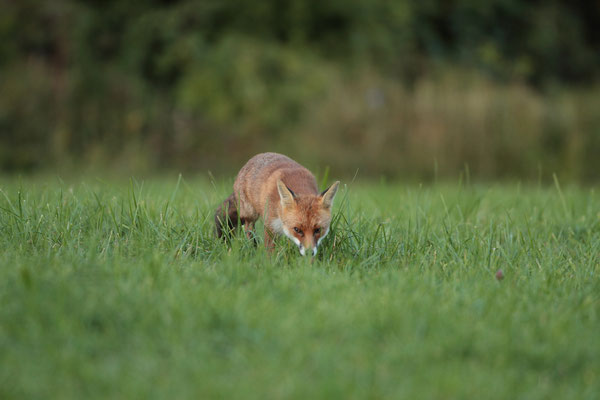 Renard (vulpes vulpes) - Photo Jullien Ludovic