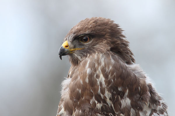 Buse variable (Buteo buteo) - Photo Jullien Ludovic