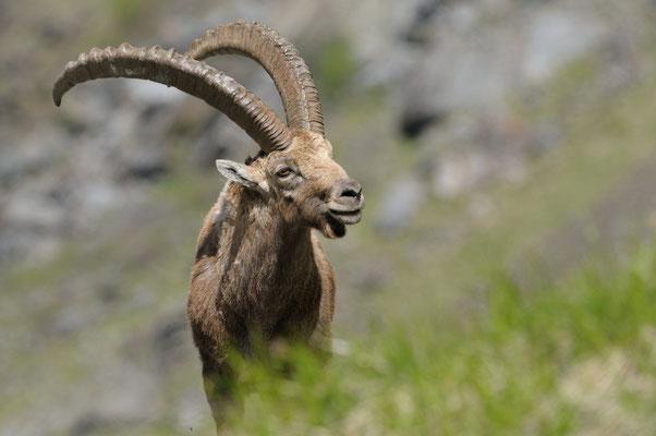 Bouquetin des Alpes (Capra ibex) - Frédéric Pinto