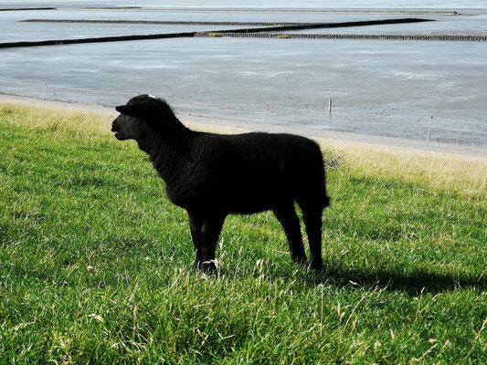 Das schwarze Schaf :)