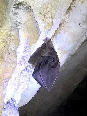 Chauve souris - grotte de Bérigoule