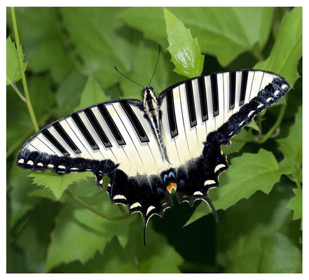 SCHMETTERLING 2012
