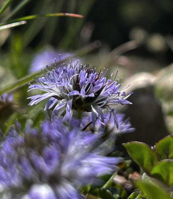 Herzblättrige Kugelblume