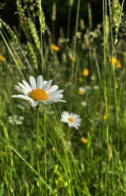 Magerwiesen-Margerite auf der Sommer-Blumenwiese Mailach